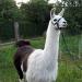 Saisonwanderung mit Lamas für 2 Personen - Mittenwalde